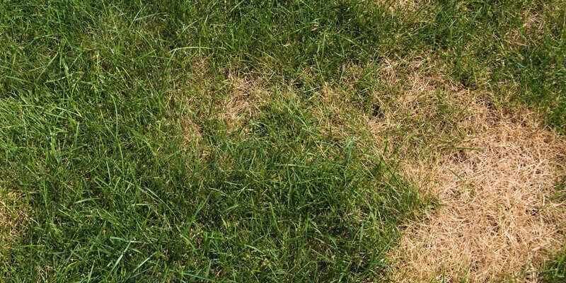 A lawn with brown and bare patches, indicating there is a fungus killing the grass.