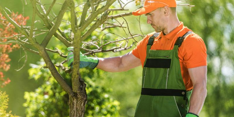 A tree care specialist tending to trees